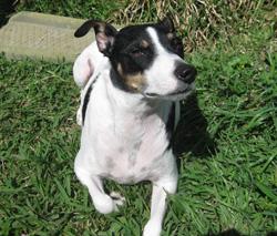 Eddie the rat terrier