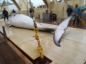 Japanese whalers pull in a catch
