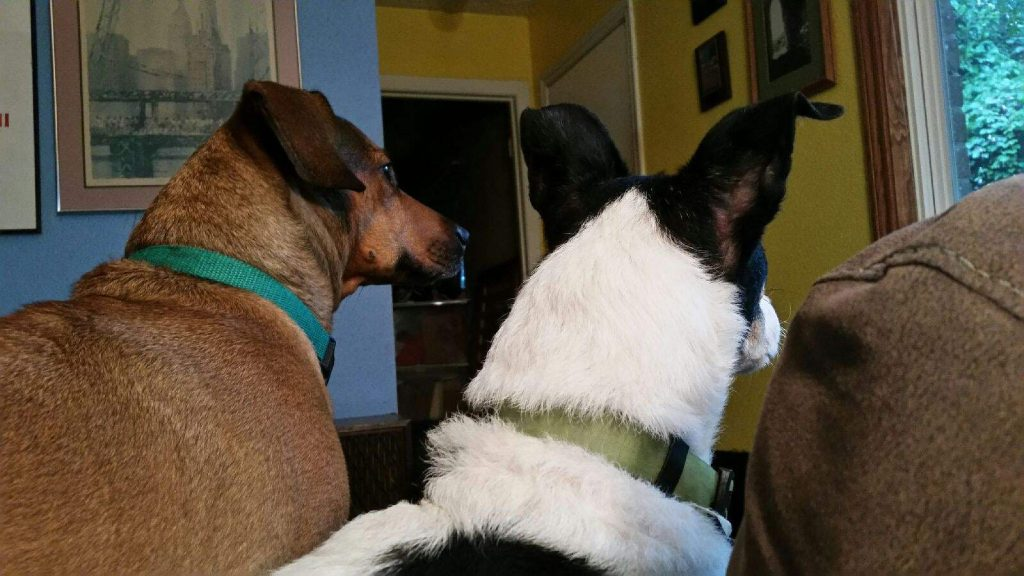 Dachshund and rat terrier on guard duty