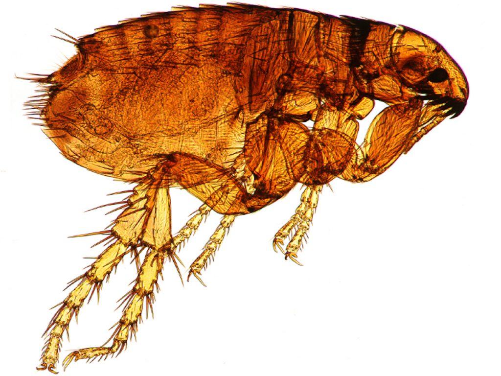 A hideous flea under magnification