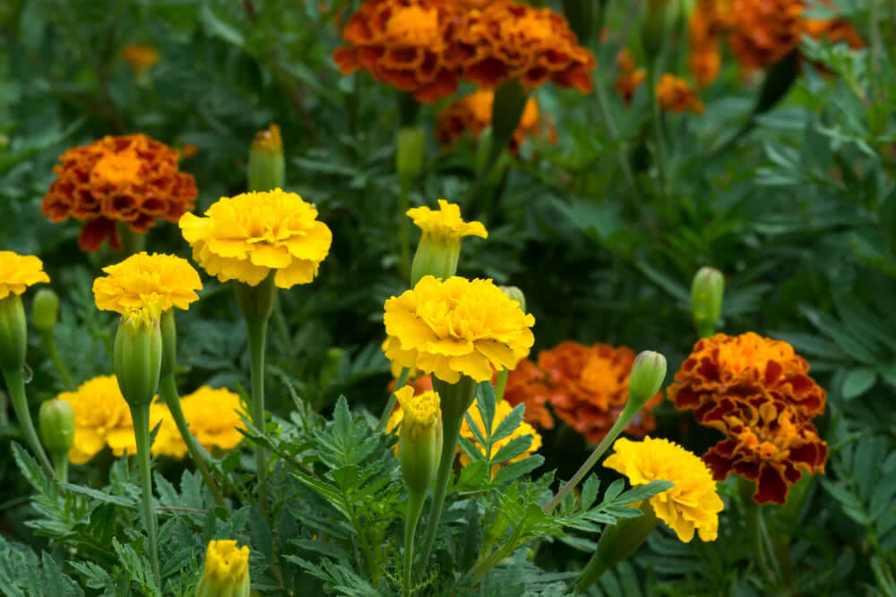 Use marigold flowers for pest control