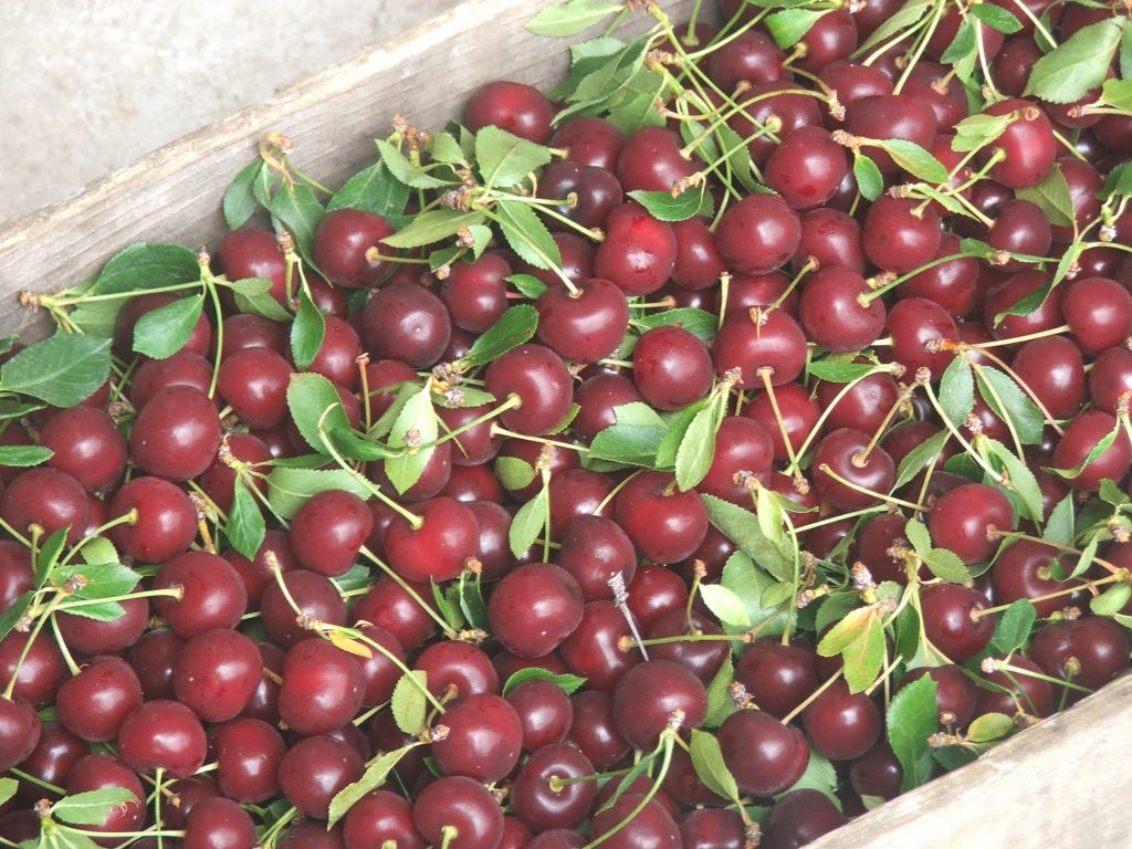 Tart cherries harvested