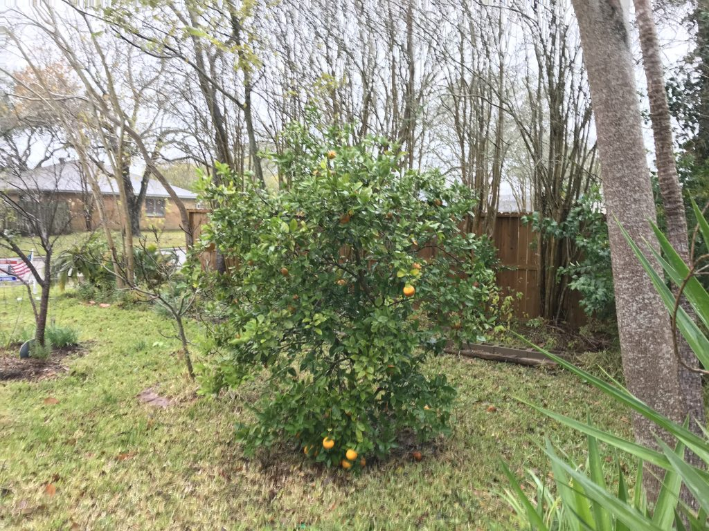 Republic of Texas orange tree