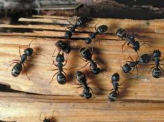 Ants are home invasion pests, photo courtesy Chaleigh Glass