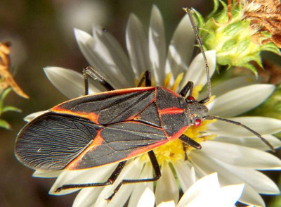 The Boxelder bug is harmless to humans, photo courtesy Bruce Marlin