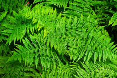 Ferns make good house plants; photo courtesy Sanjay ach