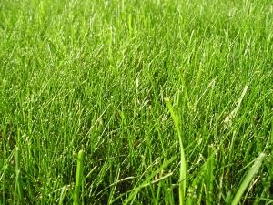An organic green grass lawn, photo courtesy Alan Bridge