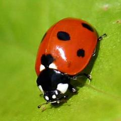 A ladybug for organic pest control in the garden; image courtesy Yescom