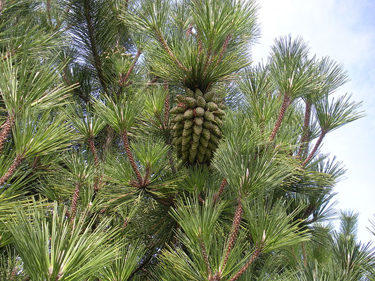 Pine cones growing in a cluster; photo courtesy Caichofschi