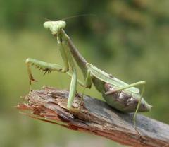 A praying mantis for organic pest control in the garden; image courtesy Yescom