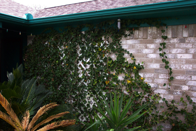 Rain gutters and English ivy; photo courtesy Kelly Smith